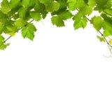 Bos van groene wijnstokbladeren Stock Afbeelding