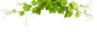 Bos van groene wijnstokbladeren Stock Afbeeldingen