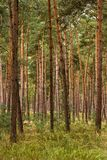 Bos van jonge pijnboombomen Stock Afbeeldingen