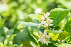 Bos van kalkbloemen, citroenbloesem op boom Royalty-vrije Stock Foto's