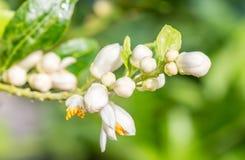 Bos van kalkbloemen, citroenbloesem op boom Stock Foto's
