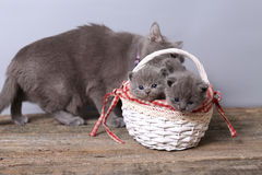 Bos van katjes in een mand, moederkat met hen Stock Foto's