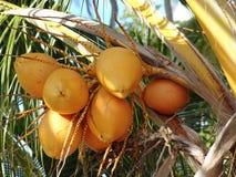 Bos van kokosnoten royalty-vrije stock afbeelding