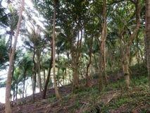 Bos van kokospalmen en grote bomen in beter stock foto