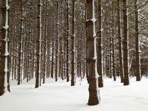 Bos van lange die pijnboombomen in sneeuw worden behandeld Royalty-vrije Stock Foto