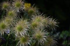 Bos van Langzaam verdwenen Pasque Flowers op zwarte achtergrond stock fotografie