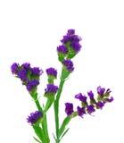Bos van lavendel op witte achtergrond stock foto