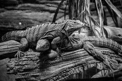 Bos van leguanen in zwart-wit royalty-vrije stock afbeeldingen