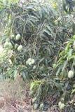 Bos van mango stock afbeeldingen