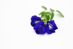 Bos van mooie erwtenbloemen op wit Royalty-vrije Stock Afbeeldingen