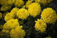 Bos van mooie gele bloemen die in zonsondergang bloeien royalty-vrije stock afbeelding