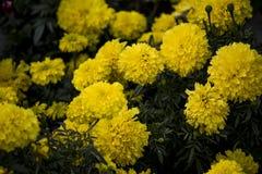 Bos van mooie gele bloemen die in zonsondergang bloeien royalty-vrije stock fotografie
