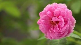 Bos van mooie roze rozen in tuin stock videobeelden