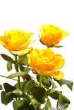 Bos van mooie rozen stock foto
