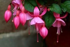 Bos van Mooie Trillende Roze Bloeiende Fuchsiakleurig Bloemen, Cusco, Peru, Zuid-Amerika royalty-vrije stock foto
