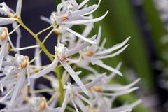 Bos van mooie witte orchidee op groene achtergrond Stock Foto's