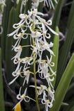 Bos van mooie witte orchidee op groene achtergrond Stock Afbeelding