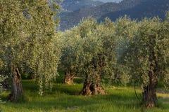 Bos van olijfbomen Royalty-vrije Stock Fotografie