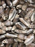 Bos van Olive Snail Seashells stock fotografie