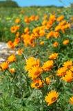 Bos van oranje wilde bloemen royalty-vrije stock foto