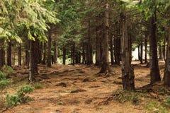 Bos van pijnboom in de bergen stock foto