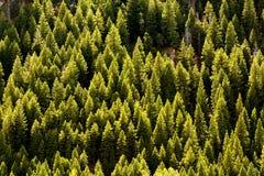 Bos van pijnboombomen Stock Afbeelding