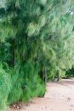 Bos van pijnboombomen in het zand Stock Foto