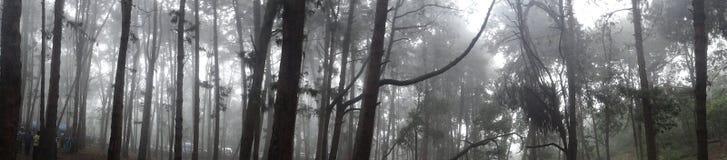Bos van Pijnboombomen met mist stock afbeeldingen