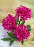 Bos van pioenbloemen Stock Fotografie