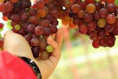 Bos van purpere druiven in de tuin royalty-vrije stock afbeeldingen