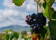 Bos van purpere druiven die op wijnstokvoorraad bij wijnwerf hangen, Spanje Royalty-vrije Stock Foto