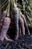 Bos van purpere wortel stock afbeeldingen