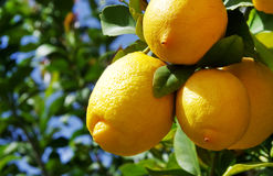 Bos van rijpe citroenen Stock Afbeeldingen