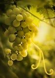 Bos van rijpe druiven met rank en bladeren Stock Foto's