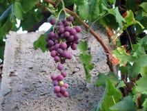 Bos van rijpe druiven tegen concrete pijler Royalty-vrije Stock Afbeeldingen