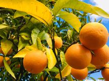 Bos van rijpe sinaasappelen Royalty-vrije Stock Afbeelding