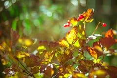 Bos van rode aalbes binnen Stock Afbeelding