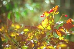 Bos van rode aalbes in zonlichten Royalty-vrije Stock Fotografie