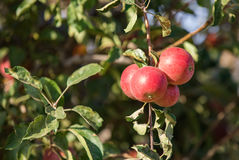 Bos van rode appelen op een boom royalty-vrije stock fotografie