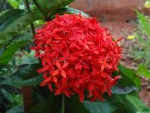 Bos van rode bloem Royalty-vrije Stock Afbeeldingen