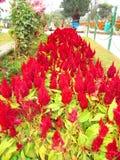 Bos van rode bloemen royalty-vrije stock foto