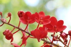 Bos van rode de orchideebloem van Vanda met groene tuin bokeh achtergrond Royalty-vrije Stock Fotografie