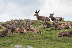 Bos van Rode Deers stock afbeelding