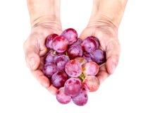 Bos van rode druif in volwassen handen op witte achtergrond Royalty-vrije Stock Foto's