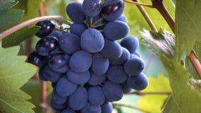 Bos van rode druiven stock video