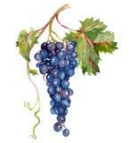 Bos van rode druiven met blad Royalty-vrije Stock Afbeelding