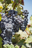 Bos van rode druiven op wijnstokken Stock Afbeelding