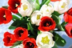 Bos van rode en witte tulpen Stock Foto's