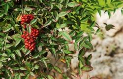 Bos van rode lijsterbes met rode bessen Stock Afbeelding