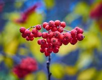 Bos van rode rijpe Lijsterbessenbessen lat Sorbusaucuparia op een multicolored vage achtergrond stock fotografie